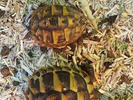 Griechische Landschildkröten - Neuhardenberg