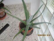 Aloe Vera Pflanzen, verschiedene Größen - Lichtenfels (Bayern)