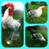Bruteier von Bleu Bresse Gauloise Grise Reinrassig ( hatching eggs )