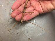 Zompros Stabschrecke adult - Wadgassen