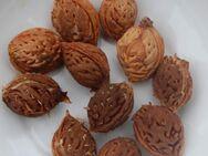 Kerne vom roten Weinbergpfirsich, Samen für eigenen Pfirsichbaum - Bad Belzig