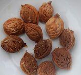 Kerne vom roten Weinbergpfirsich, Samen für eigenen Pfirsichbaum