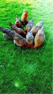 Bruteier Bielefelder Kennhuhn Groß Reinrassig (hatching eggs) - Sendenhorst