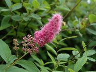 Spierstrauch, Kolbenspiere rosa blühend - Soest
