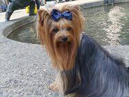 Deckrüde reinrassige Yorkshire Terrier  //  Kein Verkauf - Aachen
