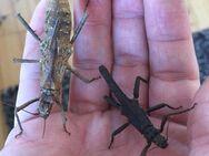 Tisamenus serratorius (Gespenstschrecken Art) sehr selten! - Wadgassen