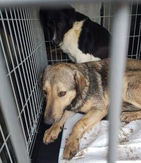 lieber, kastrierter Alvi in NRW in Pflege, 55 cm, aktiver Hund, nicht leinenführig, braucht einen Garten - Welver