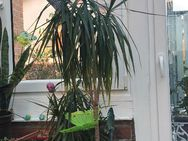 Zimmerpflanze Dracayana - Plaidt