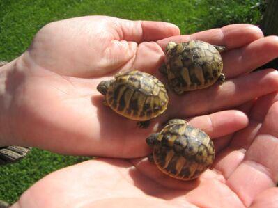 Griechische Landschildkröten Babys - Mammendorf