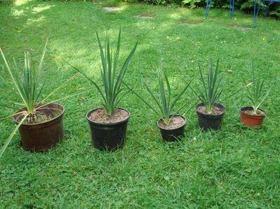 Yucca filementosa, winterhart - Soest