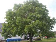 Ihrem Walnussbaum etwas Gutes tun: Sommerschnitt - Brück