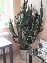 Hydrokultur-Westernkaktus -  Euphorbia trigona