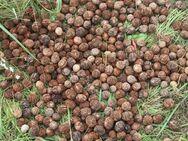 Frische Schwarznuss-Nüsse (Juglans nigra) der aktuellen Ernte - Bad Belzig