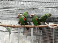 Grüner Kongopapagei - Jüterbog