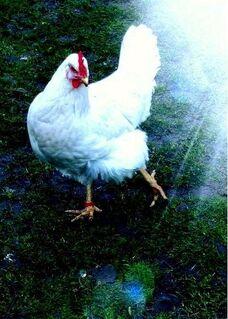 Bruteier Reinrassig American White-Rocks hatching eggs - Sendenhorst