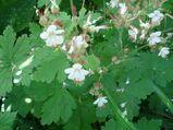 Balkan Storchschnabel (Geranium macrorhizum)