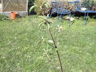 roter Hartriegel (Cornus sanguinea) - Soest