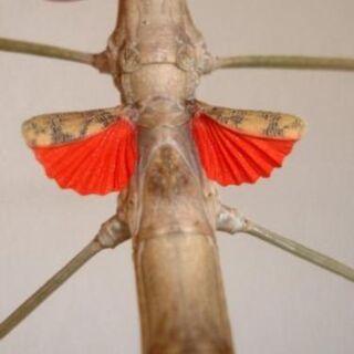 rot geflügelte Stabschrecke - Wadgassen