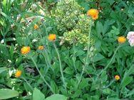 orangenes Habichtskraut - Soest