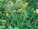 orangenes Habichtskraut