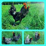 Bruteier von Bresse Gauloise in Blau Reinrassig hatching eggs