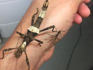 """philippinische Gespenstschrecken der Art """"banded"""" - Wadgassen"""