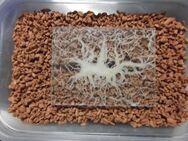 Grindal Würmchen auf Seramis, Enchytraeus buchholzi, 1,5-2 l Dose, Lebend-Futter - Duisburg