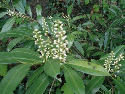 Kirschlorbeer, Solitärpflanze - Soest