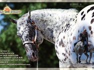 Appaloosa  Deckhengst - Celle