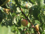 Kerne vom einheimischen Weinbergpfirsich, Samen für eigenen Pfirsichbaum - Bad Belzig