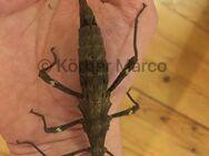"""Philippinische Gespenstschrecken """"highland"""" Weibchen adult - Wadgassen"""