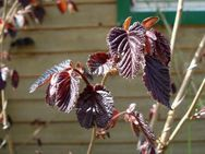 Haselnuss mit roten Blättern - Soest Zentrum