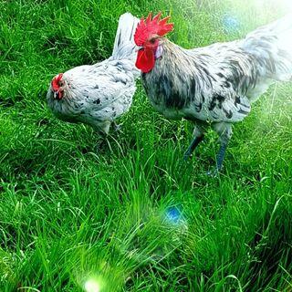 Bruteier von Reinrassigen Blue Bresse Gauloise in Splash hatching eggs - Sendenhorst Zentrum