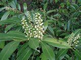 Kirschlorbeer, Solitärpflanze