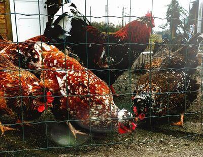 Bruteier Reinrassige Schwedische Blumenhühner mit Haube ( hatching eggs ) - Sendenhorst