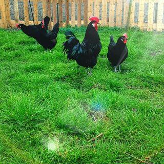 Bruteier von Bleu Bresse Gauloise in Schwarz Reinrassig hatching eggs - Sendenhorst Zentrum