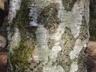 Birken-Hackklotz ums eigene Brennholz zu hacken oder den Hühnern den Kopf ab; Hauklotz - Bad Belzig