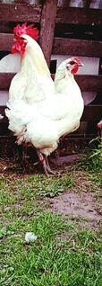 Bruteier von Bleu Bresse Gauloise Weiß Reinrassig hatching eggs - Sendenhorst