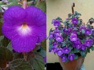 Samen von blauen Schiefteller gegen Samen von weißen Schiefteller  tauschen, oder auch andere Farben! - Wismar