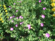 Blut-Storchschnabel (geranium sanguineum) - Soest
