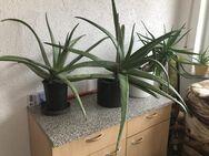 Biete Aloe Vera erwachsene Zimmerpflanze - Plaidt