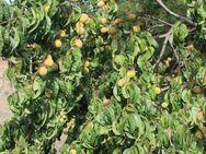 Weinbergpfirsich Früchte aus natürlicher Ernte; einheimische Pfirsiche - Bad Belzig