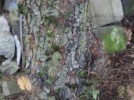 Hackklotz aus Wildbirne, um sich selber sein Brennholz zu hacken - Bad Belzig Zentrum