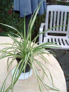 Grünlilie (Chlorophytum) - Soest Zentrum