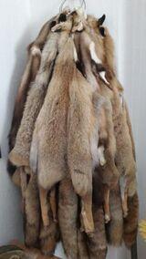 Sehr schöne gepflegte Rotfüchse günstig abzugeben Preis: 800 €