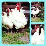 Bruteier von Bleu Bresse Gauloise Weiß Reinrassig hatching eggs