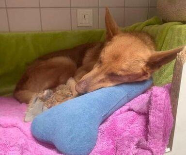 MANI - wundervolle Hundedame, aus Tötungsstation gerettet, sucht nun ein tolles Zuhause - Es gibt ein UPDATE der Pflegestelle :-) - Oberhausen