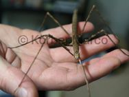 Annam Stabschrecke Weibchen adult - Wadgassen