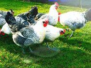 Bruteier von Bleu Bresse Gauloise Grise Reinrassig ( hatching eggs ) - Sendenhorst Zentrum