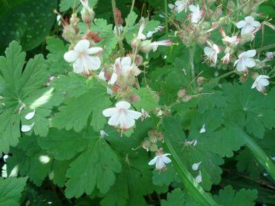 Balkan Storchschnabel (Geranium macrorhizum) - Soest